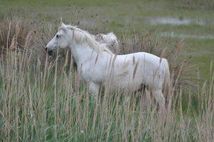 camargue-cheval