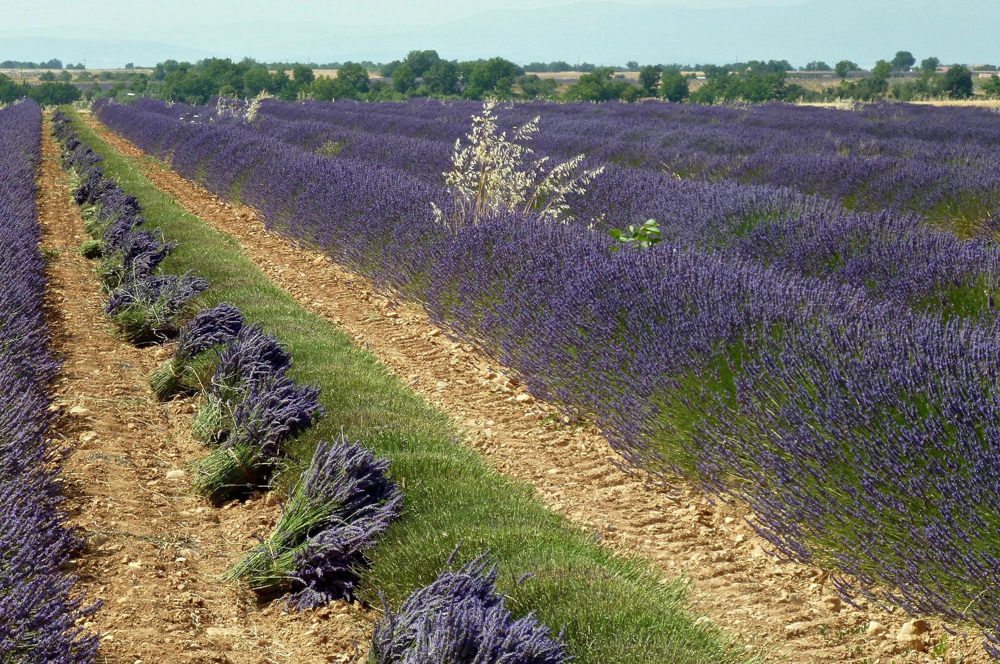 tour lavender harvest