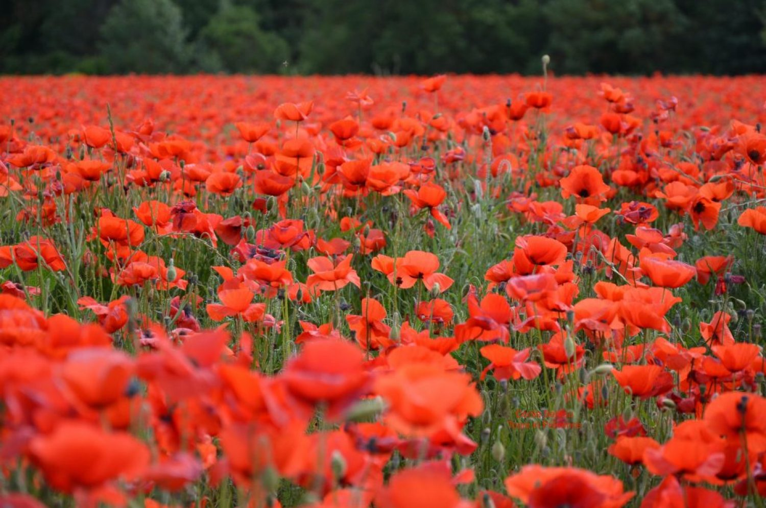 Poppies fields in Provence