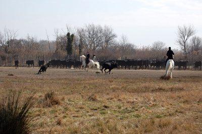 Toros de Camargue