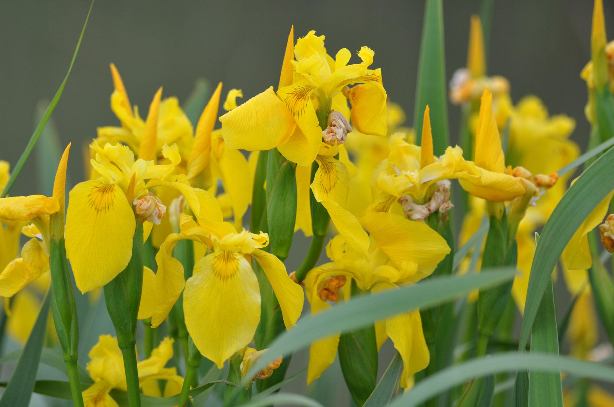 tour-camargue-iris